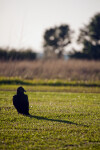Black Vulture at Flamingo Campgrounds