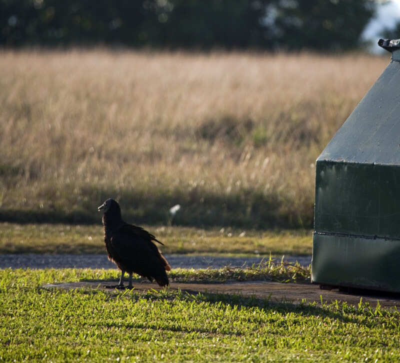Black Vulture by Dumpster