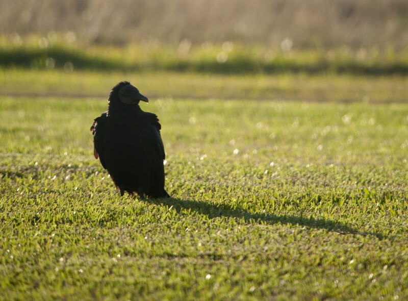 Black Vulture Casting Shadow to the Right