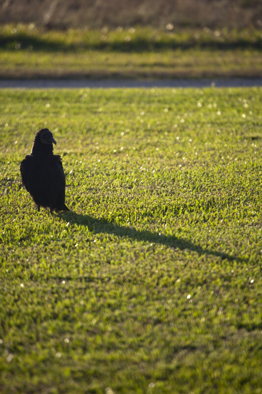 Black Vulture Casting Shadow