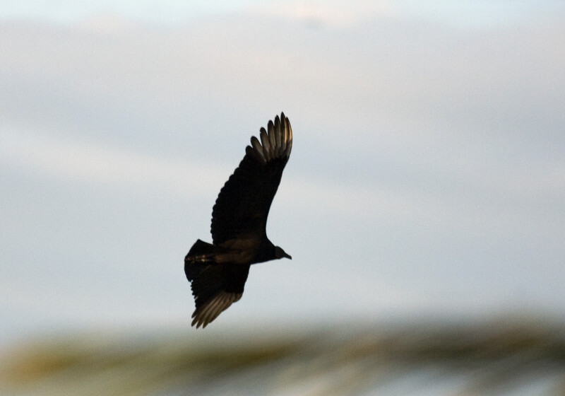 Black Vulture Flying