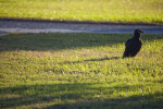 Black Vulture in Front of Path