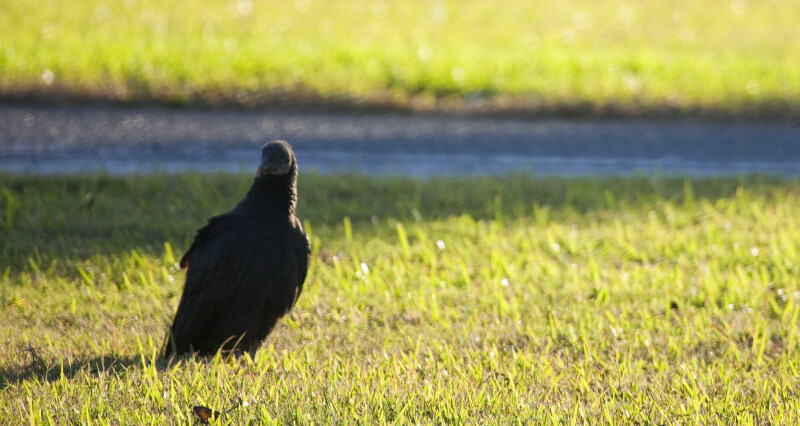 Black Vulture in Front of Picnic Table