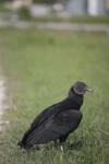 Black Vulture in Grass