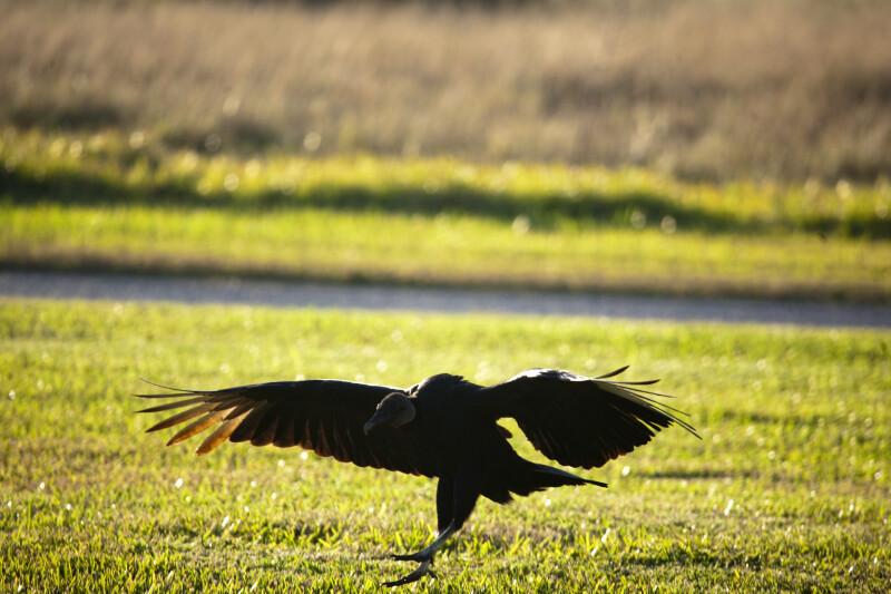 Black Vulture Landing