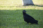Black Vulture Looking Behind