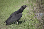 Black Vulture Looking Into Bushes