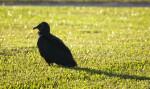 Black Vulture Looking Left