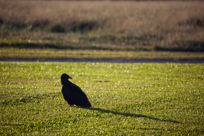 Black Vulture Looking Right