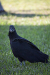 Black Vulture Looking Straight Ahead
