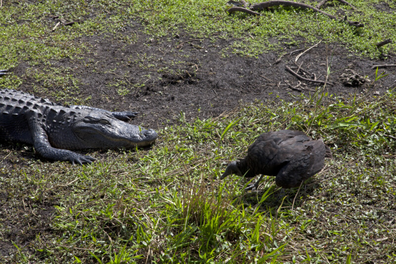Black Vulture Near a Resting American Alligator