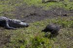 Black Vulture Near a Resting American Alligator