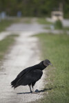 Black Vulture on Dirt Track
