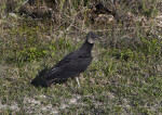 Black Vulture Standing in Grass