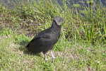 Black Vulture Standing in Grass with its Head Turned