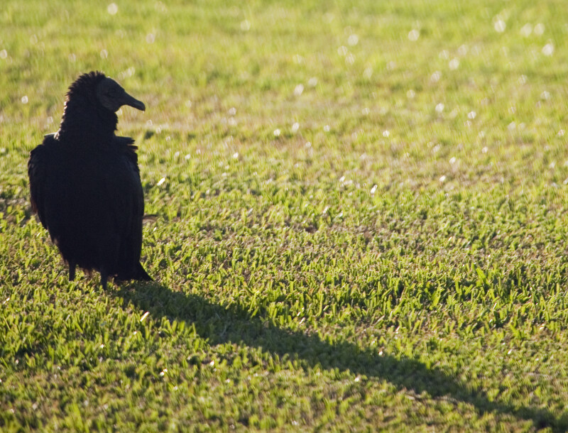 Black Vulture Standing