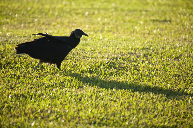 Black Vulture Walking