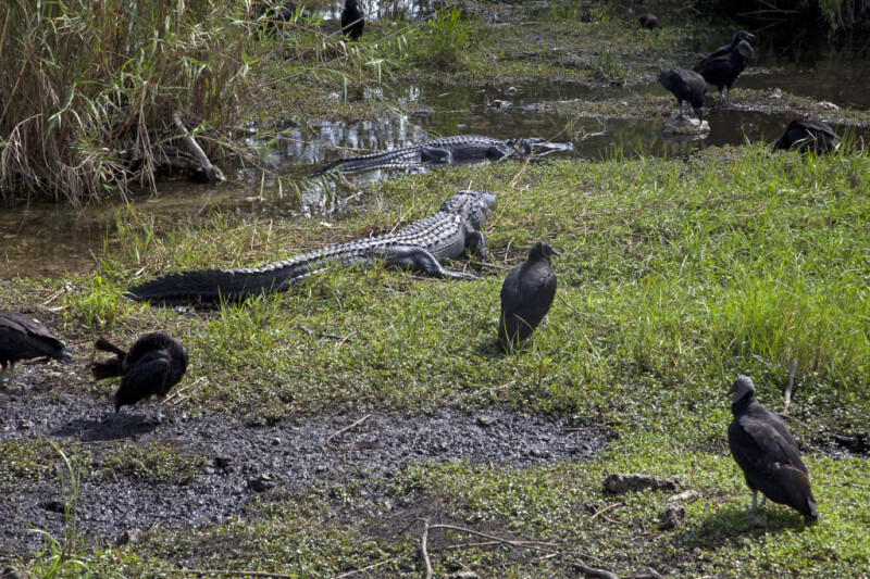 Black Vultures and American Alligators at Anhinga Trail of Everglades National Park