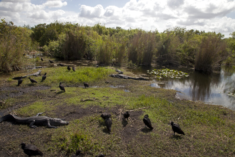 Black Vultures and American Alligators Coexisting at Anhinga Trail of Everglades National Park