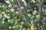 Blackbead Branches, Leaves, Flowers, and Flower Buds