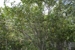 Blackbead Tree at Windley Key Fossil Reef Geological State Park