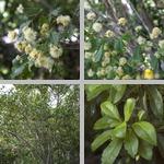 Blackbead Trees photographs