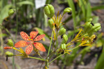 Blackberry Lily Bulbs and Flower