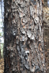 Blackened Pine Tree Bark