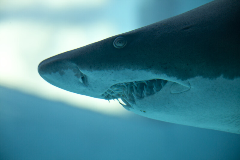 Blacktip Reef Shark Close-Up