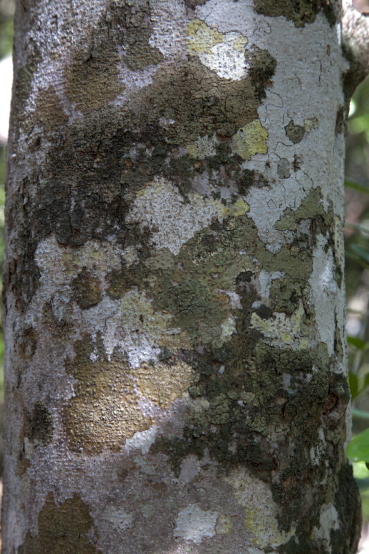 Blolly Bark