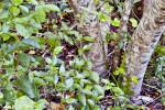 Blolly (Pisonia discolor)
