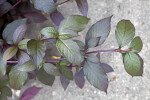 Bloodleaf Leaves with Purple Stems and Purplish-Green Leaves