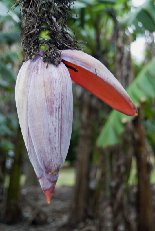 Blooming Banana Flower