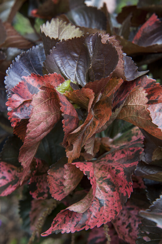 Blotchy Copper Plant Leaves