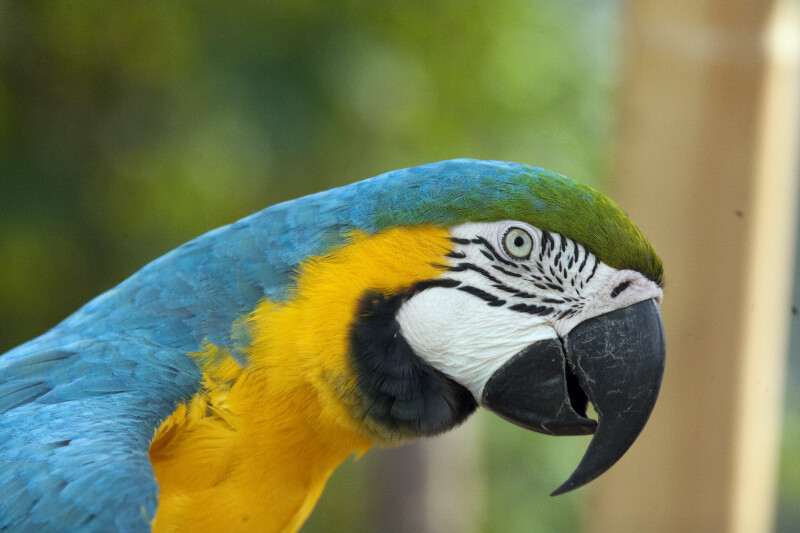 Blue-and-Yellow Macaw Detail