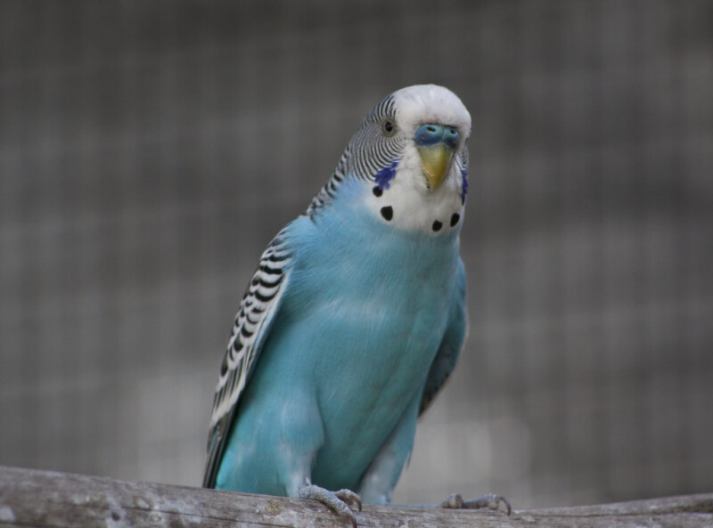 Blue-Chested Budgie