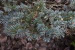 Blue Colorado Spruce Needles