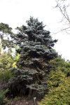 Blue Colorado Spruce Tree