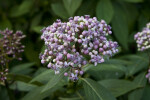 Blue Evergreen Hydrangea Flowers and Buds