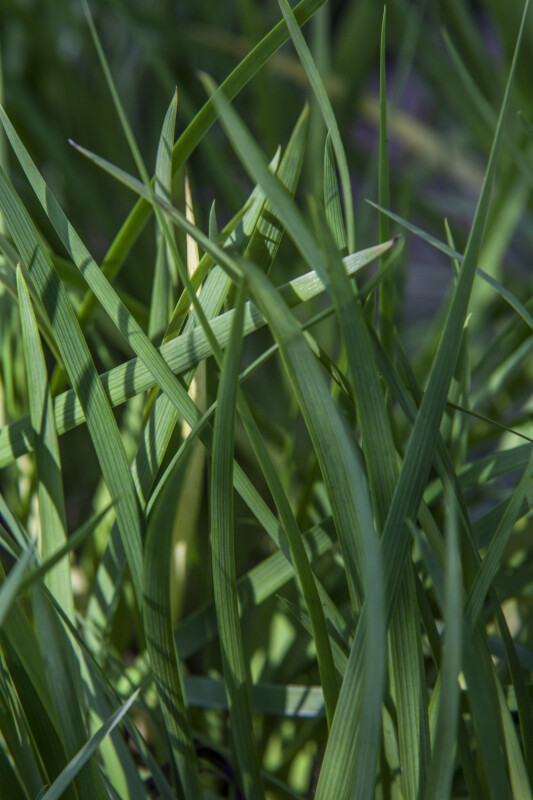 Blue-Eyed Grass Close-Up