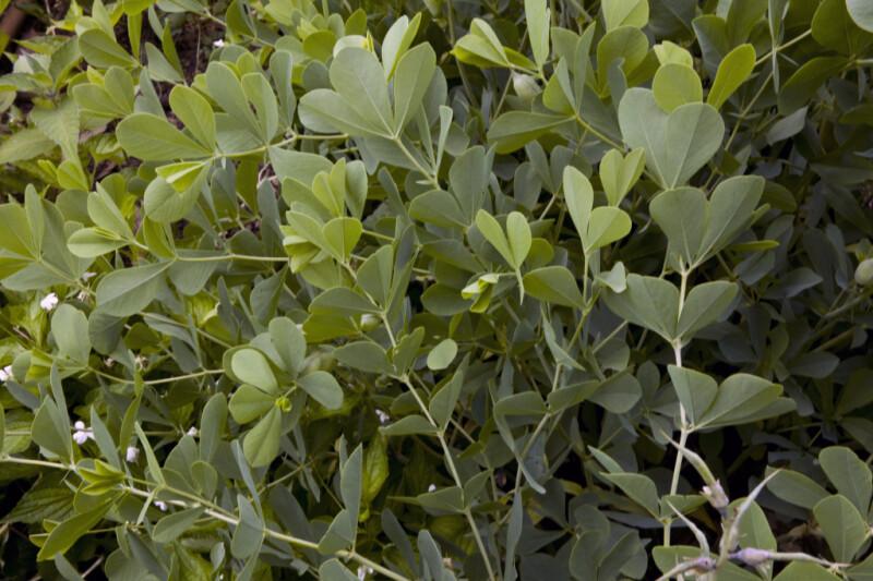 Blue False Indigo Leaves and Stems