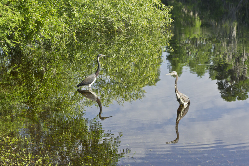 Blue Herons Feeding in Brooker Creek
