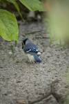 Blue Jay Foraging