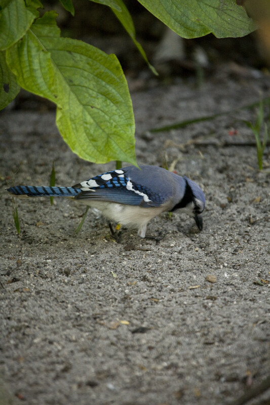 Blue Jay Looking for Food