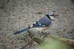 Blue Jay on Root