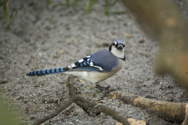 Blue Jay Perched on Root