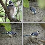 Blue Jays photographs