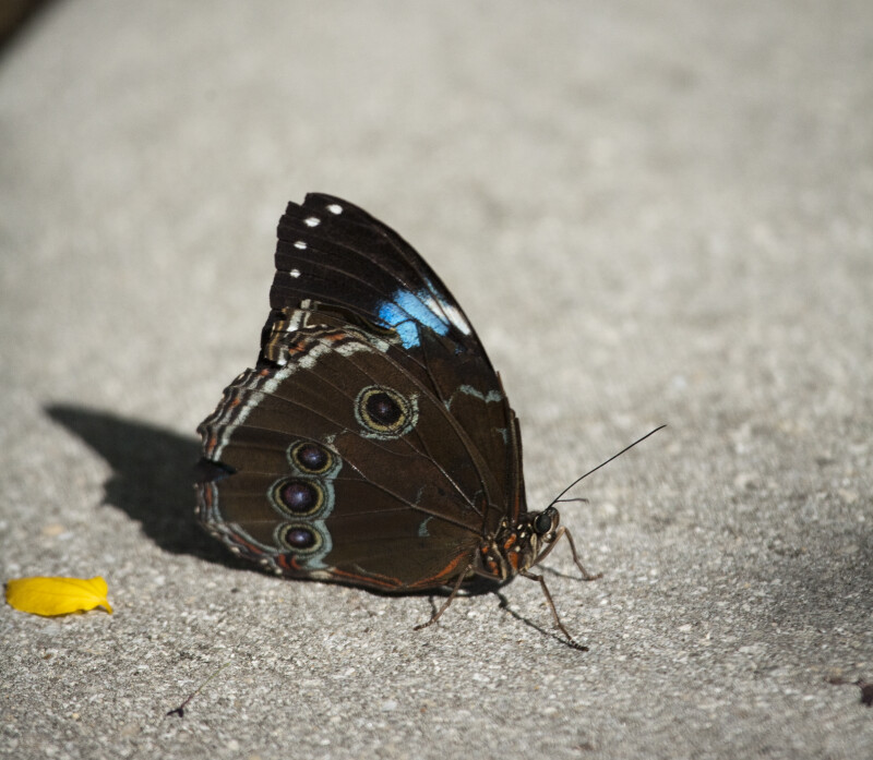 Blue Morpho Butterfly on the Ground