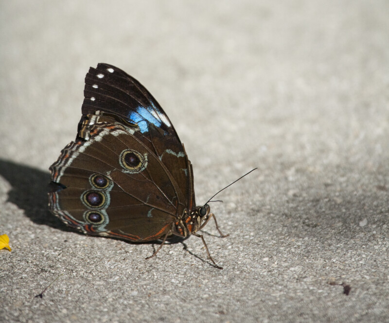 Blue Morpho Butterfly on the Sidewalk