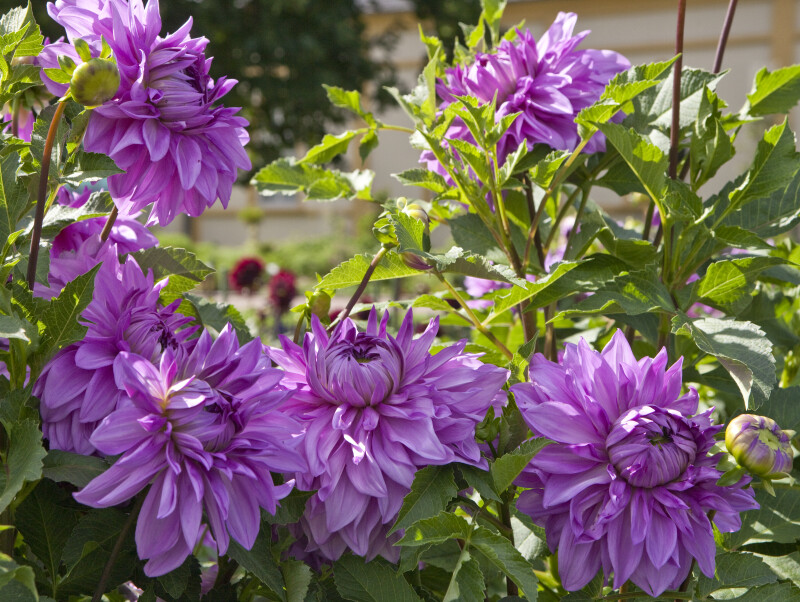 """Blue Okanagon"" Decorative Dahlia"